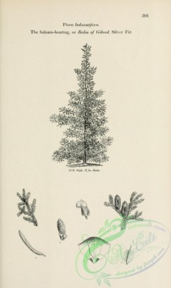 trees-01849 - black-and-white 077-Balsam-bearing or Balm of Gilead Silver Fir, picea balsamifera