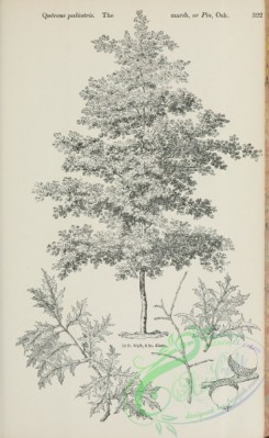 trees-01868 - black-and-white 096-Marsh or Pin Oak, quercus palustris