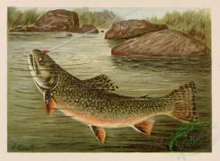 trouts-00003 - Brook Trout