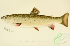 trouts-00004 - Brook Trout, salvelinus fontinalis, 2