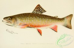 trouts-00005 - Brook Trout, salvelinus fontinalis