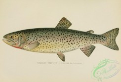 trouts-00011 - Tahoe Trout, salmo Henshawi