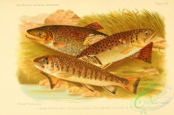 trouts-00016 - SEA TROUT, 2