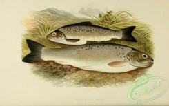 trouts-00019 - BLACK-FINNED TROUT