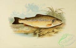 trouts-00021 - COMMON TROUT