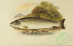 trouts-00022 - GALWAY SEA TROUT