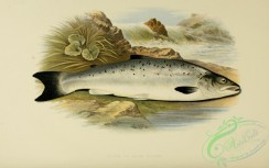 trouts-00033 - GRISLE OR YOUNG SALMON