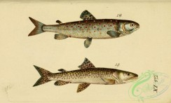 trouts-00036 - Lake Trout, Huchen