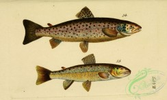 trouts-00037 - Salmon Trout, Lake Trout