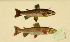 trouts-00041 - Stone Trout, Sea Trout