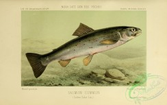 trouts-00048 - Atlantic Salmon