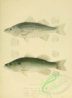 trouts-00052 - 004-Rock-fish, labrax lineatus, Trout, grystes salmoides
