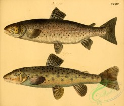 trouts-00063 - Sea Trout, Sea Trout