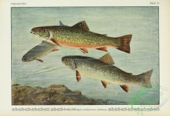 trouts-00065 - Brook Trout, salmo fontinalis