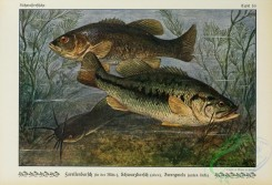 trouts-00067 - Largemouth Black Bass, grystes salmoides, Largemouth Black Bass, grystes nigricans, Brown Bullhead, amiurus nebulosus