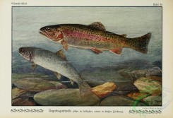 trouts-00068 - Rainbow Trout, trutta iridea