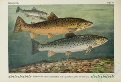 trouts-00072 - Sea Trout, trutta trutta