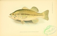 trouts-00074 - Large-mouth Black Bass, Welshman, micropterus salmoides