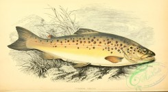 trouts-00077 - Common Trout