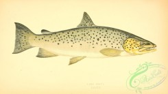 trouts-00079 - Lake Trout