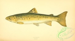 trouts-00084 - Sea Trout