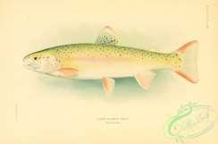 trouts-00090 - Alaska Rainbow Trout