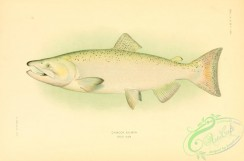 trouts-00092 - Chinook Salmon