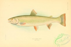 trouts-00095 - Dolly Varden Trout