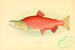 trouts-00100 - Red Salmon, 2