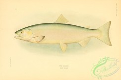 trouts-00101 - Red Salmon, 3