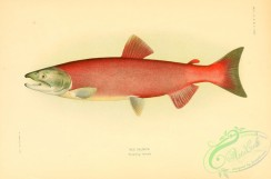 trouts-00102 - Red Salmon, 4