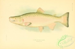 trouts-00104 - Silver Or Coho Salmon, 2