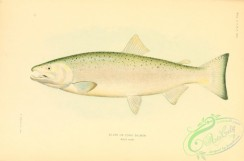 trouts-00105 - Silver Or Coho Salmon
