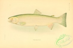 trouts-00106 - Steelhead Trout