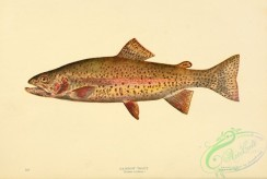 trouts-00110 - RAINBOW TROUT