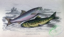 trouts-00111 - Common Trout, Northern Char