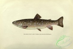 trouts-00115 - Brook Trout, salvelinus fontinalis, 2
