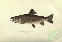 trouts-00117 - Brook Trout, salvelinus fontinalis, 4