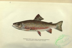 trouts-00119 - Brook Trout, salvelinus fontinalis, 6