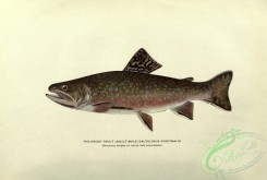 trouts-00120 - Brook Trout, salvelinus fontinalis