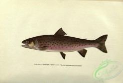 trouts-00122 - Dolly Varden Trout, salvelinus parkei