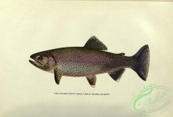 trouts-00125 - Golden Trout, salmo gilberti