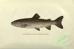 trouts-00130 - Steelhead Trout, salmo rivularis