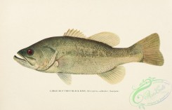 trouts-00134 - Large-mouthed Black Bass, micropterus salmoides