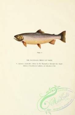 trouts-00141 - Blueback Trout of Maine, salmo oquassa