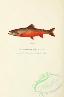 trouts-00144 - Canadian Red Trout, salmo marstoni