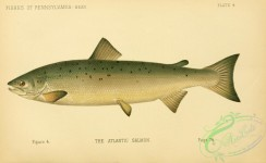 trouts-00149 - Atlantic Salmon