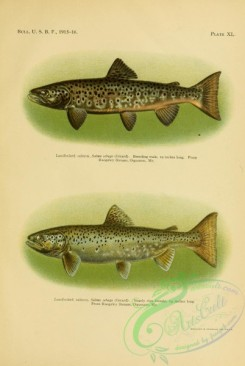 trouts-00156 - Landlocked Salmon, salmo sebago