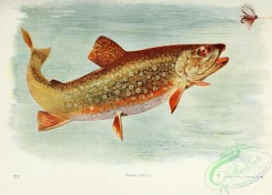 trouts-00166 - BROOK TROUT