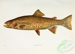 trouts-00167 - RAINBOW TROUT